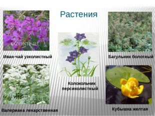 Растения Колокольчик персиколистный Багульник болотный Валериана лекарственна