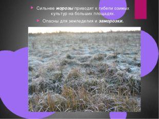 Сильнее морозы приводят к гибели озимых культур на больших площадях. Опасны