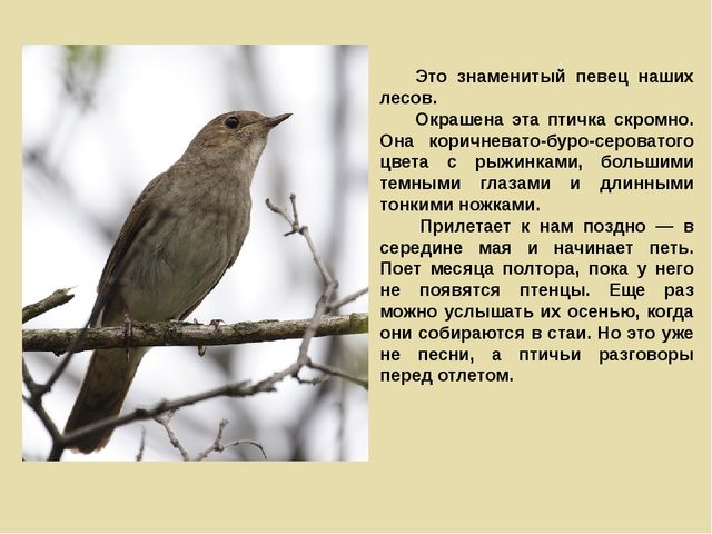 Это знаменитый певец наших лесов. Окрашена эта птичка скромно. Она коричнев...