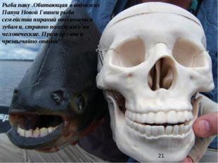 Рыба паку .Обитающая в водоемах Папуа Новой Гвинеи рыба семейства пираний отл