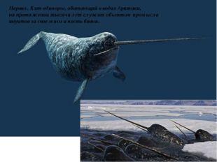 Нарвал. Кит-единорог, обитающий в водах Арктики, на протяжении тысячи лет слу