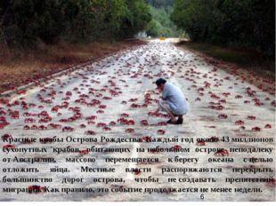 Красные крабы Острова Рождества. Каждый год около 43миллионов сухопутных кра