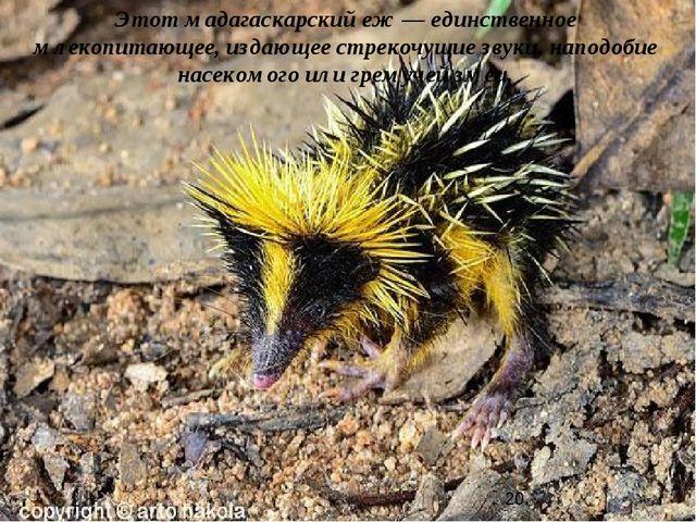 Этот мадагаскарский еж — единственное млекопитающее, издающее стрекочущие зву...