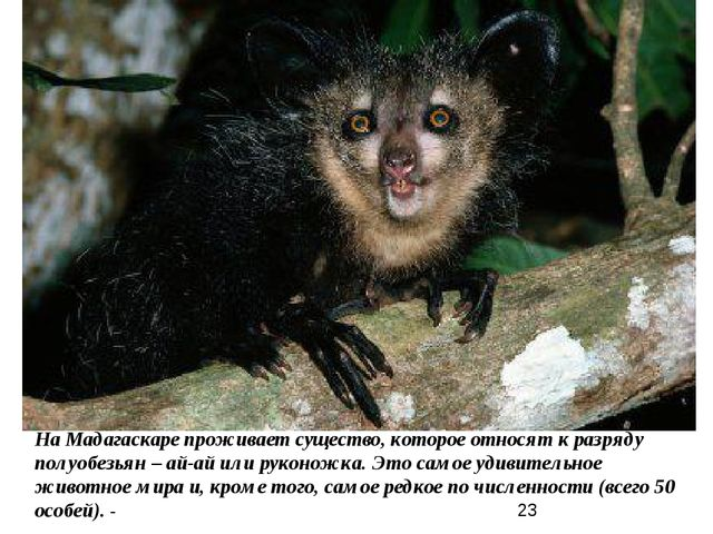 На Мадагаскаре проживает существо, которое относят к разряду полуобезьян – ай...