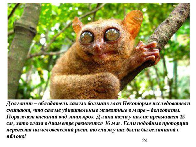 Долгопят – обладатель самых больших глаз Некоторые исследователи считают, что...