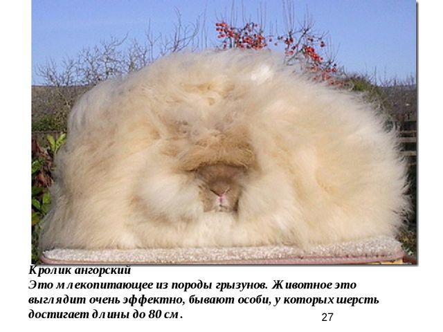 Кролик ангорский Это млекопитающее из породы грызунов. Животное это выглядит...