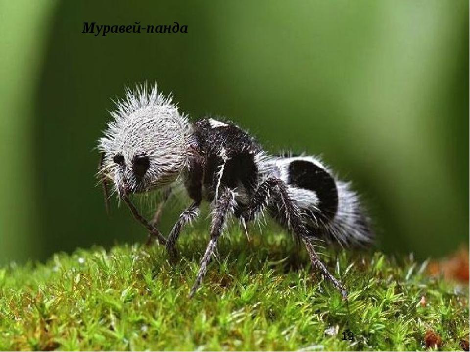 Муравей-панда