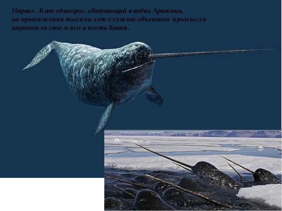 Нарвал. Кит-единорог, обитающий в водах Арктики, на протяжении тысячи лет слу...