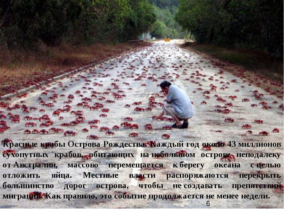 Красные крабы Острова Рождества. Каждый год около 43миллионов сухопутных кра...