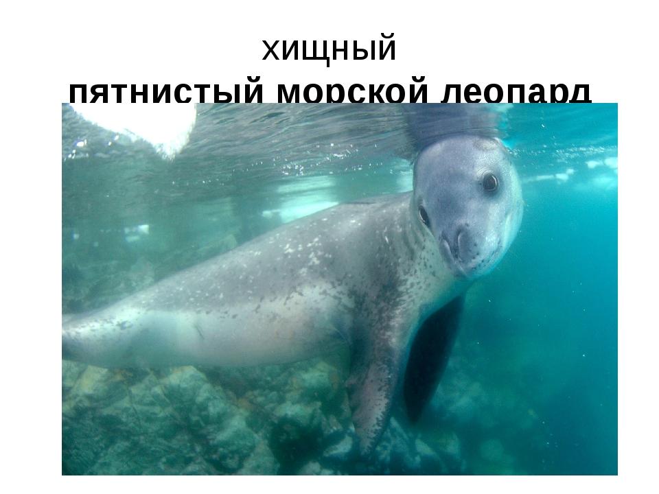 хищный пятнистый морской леопард