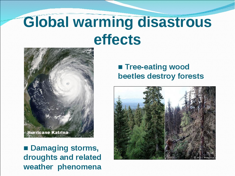 Global warming disastrous effects ■ Tree-eating wood beetles destroy forests...