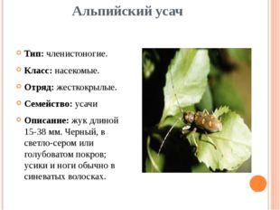 Альпийский усач Тип: членистоногие. Класс: насекомые. Отряд: жесткокрылые. Се