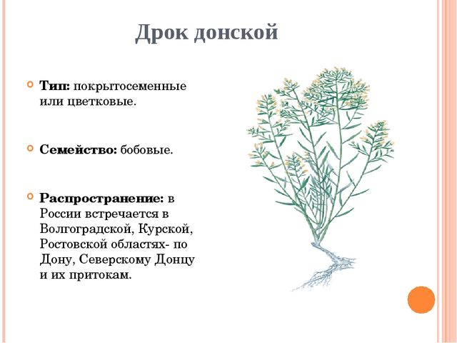 Дрок донской Тип: покрытосеменные или цветковые. Семейство: бобовые. Распрост...
