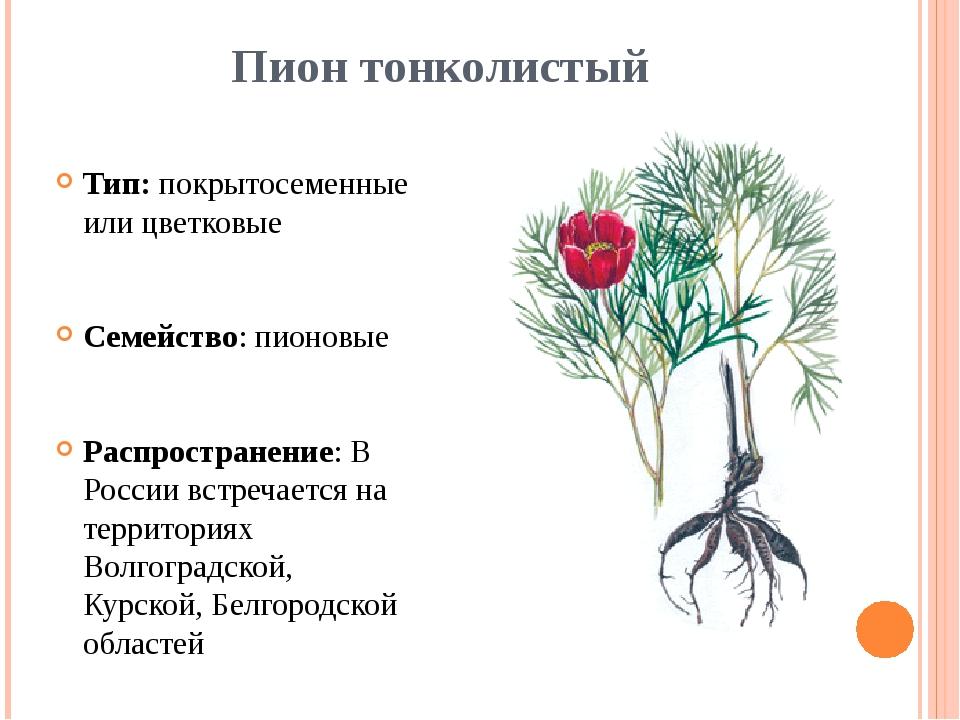 Пион тонколистый Тип: покрытосеменные или цветковые Семейство: пионовые Распр...