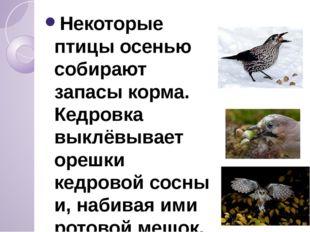 Некоторые птицы осенью собирают запасы корма. Кедровка выклёвывает орешки ке