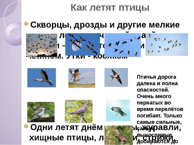 Как летят птицы Скворцы, дрозды и другие мелкие птицы летят скученной стаей....