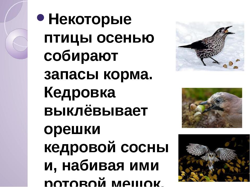 Некоторые птицы осенью собирают запасы корма. Кедровка выклёвывает орешки ке...
