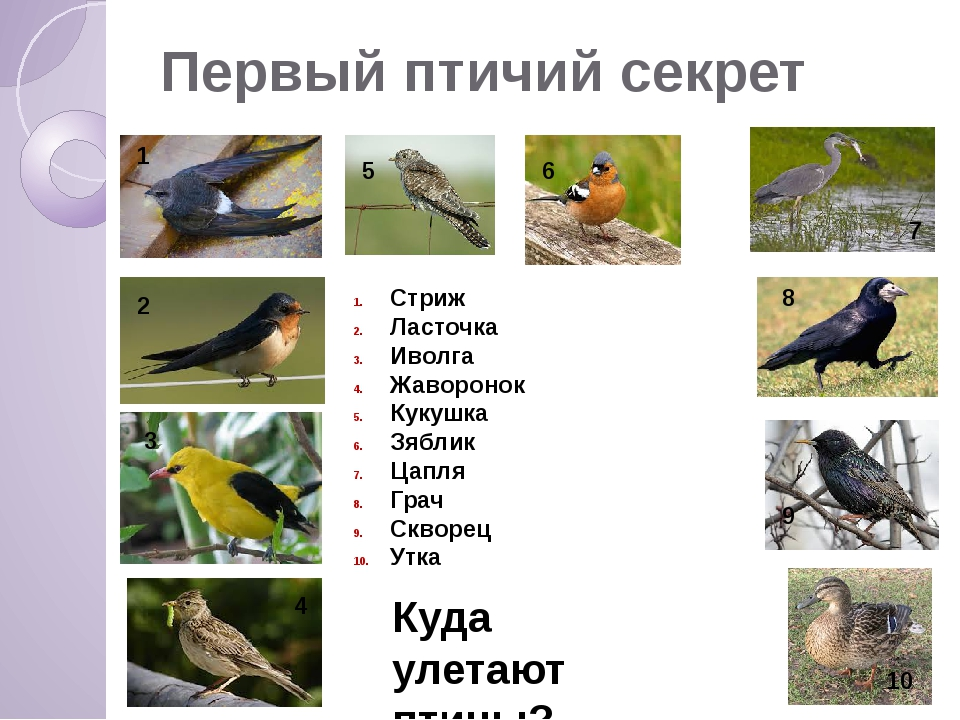 Первый птичий секрет 1 2 3 4 5 6 7 8 9 10 Куда улетают птицы? Стриж Ласточка...