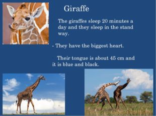 Giraffe The giraffes sleep 20 minutes a day and they sleep in the stand way.