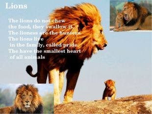 Lions The lions do not chew the food, they swallow it. The lioness are the h