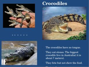 The crocodiles have no tongue. They eat stones. The biggest crocodile live in