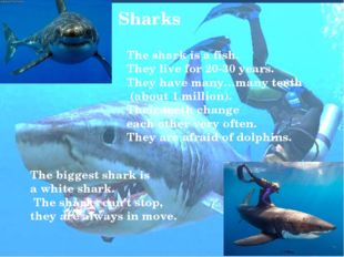 Sharks The shark is a fish. They live for 20-30 years. They have many…many te