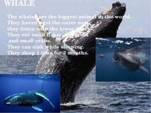 WHALE The whales are the biggest animal in the world. They haven't got the ou