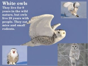 White owls They live for 9 years in the wild nature, but owls live 28 years w