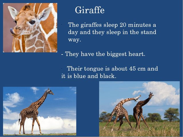 Giraffe The giraffes sleep 20 minutes a day and they sleep in the stand way....