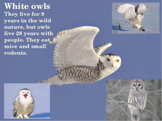 White owls They live for 9 years in the wild nature, but owls live 28 years w...