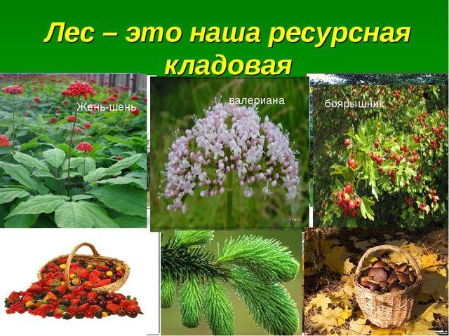 Лес – это наша ресурсная кладовая дуб сосна лиственница ель пихта Жень-шень в...