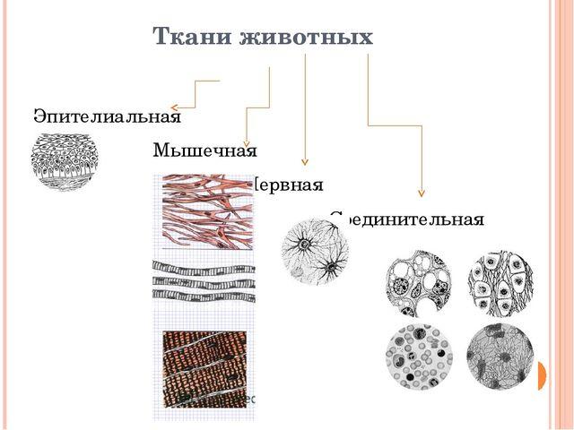 Ткани животных Эпителиальная Мышечная Нервная Соединительная