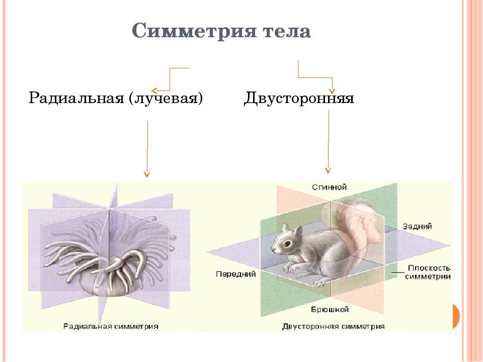 Симметрия тела Радиальная (лучевая) Двусторонняя