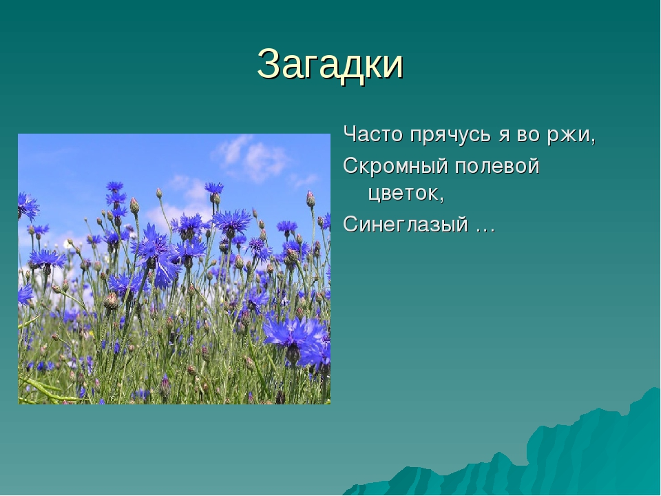 Загадки Часто прячусь я во ржи, Скромный полевой цветок, Синеглазый …