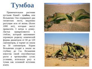Примечательное растение пустыни Намиб- тумбоа, или Вельвичия. Оно отращивает