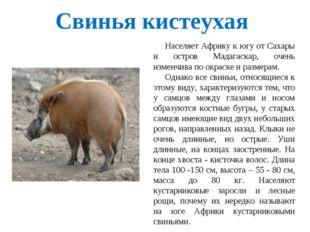 Свинья кистеухая Населяет Африку к югу от Сахары и остров Мадагаскар, очень и