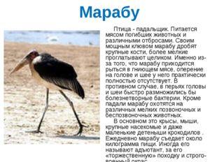 Марабу Птица - падальщик. Питается мясом погибших животных и различными отбро