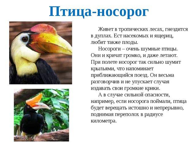 Птица-носорог Живет в тропических лесах, гнездится в дуплах. Ест насекомых и...