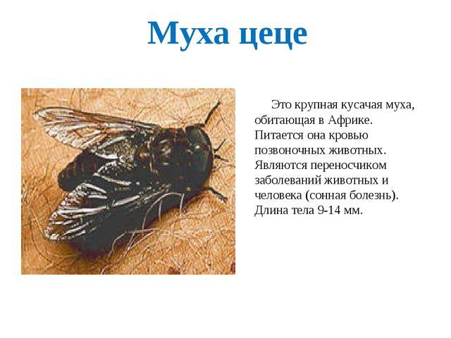 Муха цеце Это крупная кусачая муха, обитающая в Африке. Питается она кровью п...