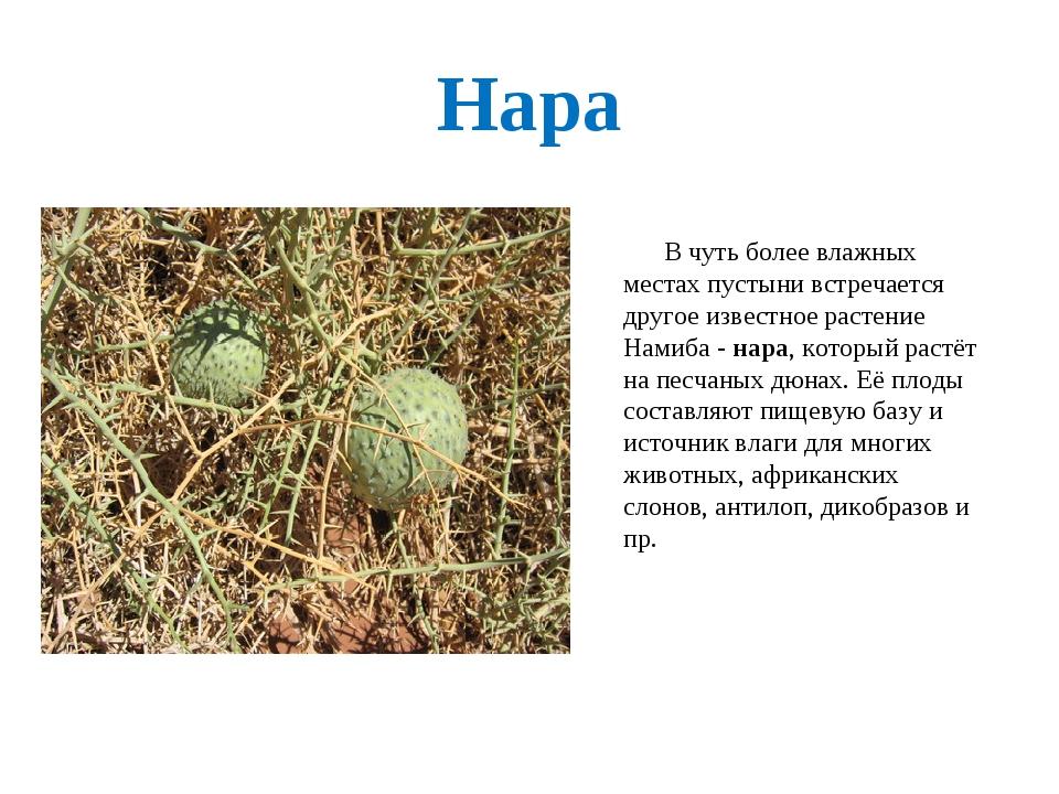 Нара В чуть более влажных местах пустыни встречается другое известное растени...