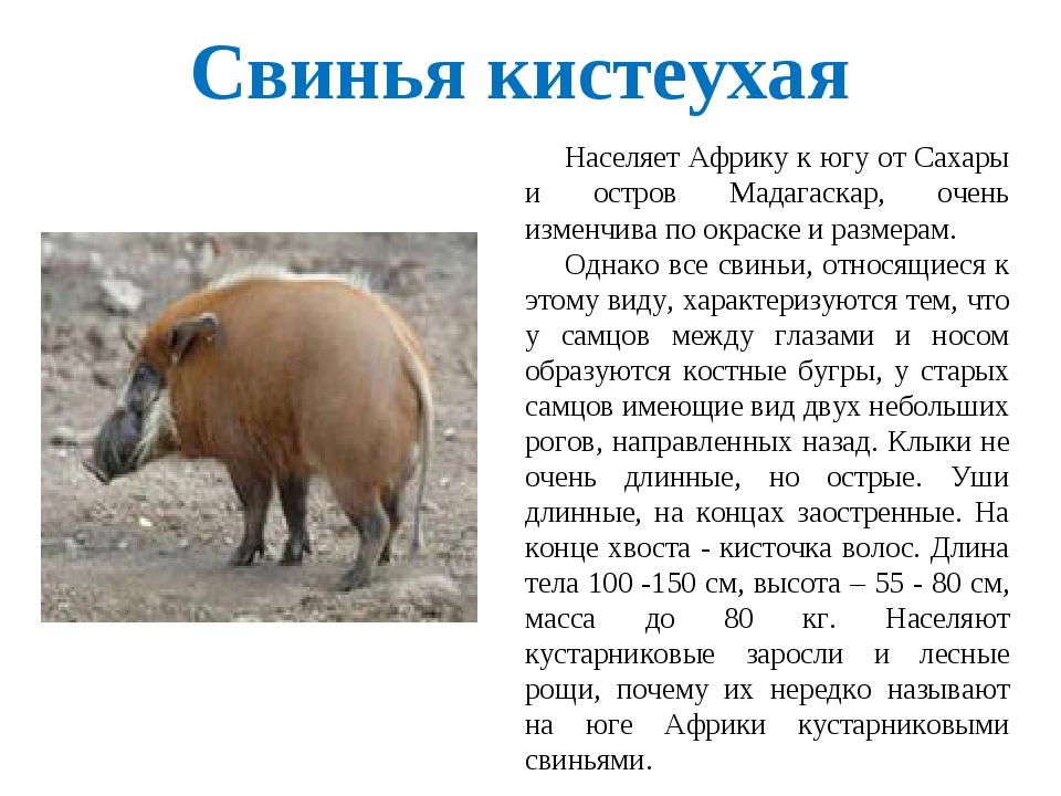 Свинья кистеухая Населяет Африку к югу от Сахары и остров Мадагаскар, очень и...