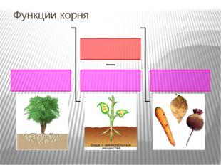 Функции корня Опорная. Любое растение удерживается в почве благодаря хорошо р