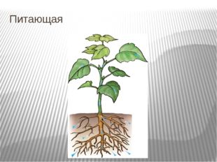 Питающая Корни не только удерживают растение в почве, но и всасывают находящи