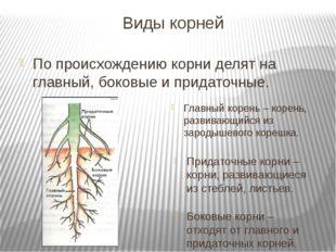 Виды корней По происхождению корни делят на главный, боковые и придаточные.