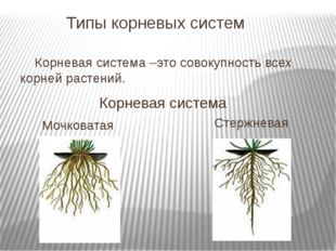 Типы корневых систем Корневая система –это совокупность всех корней растений