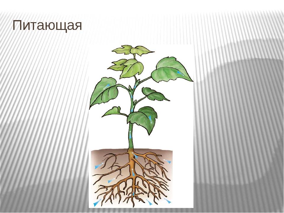 Питающая Корни не только удерживают растение в почве, но и всасывают находящи...