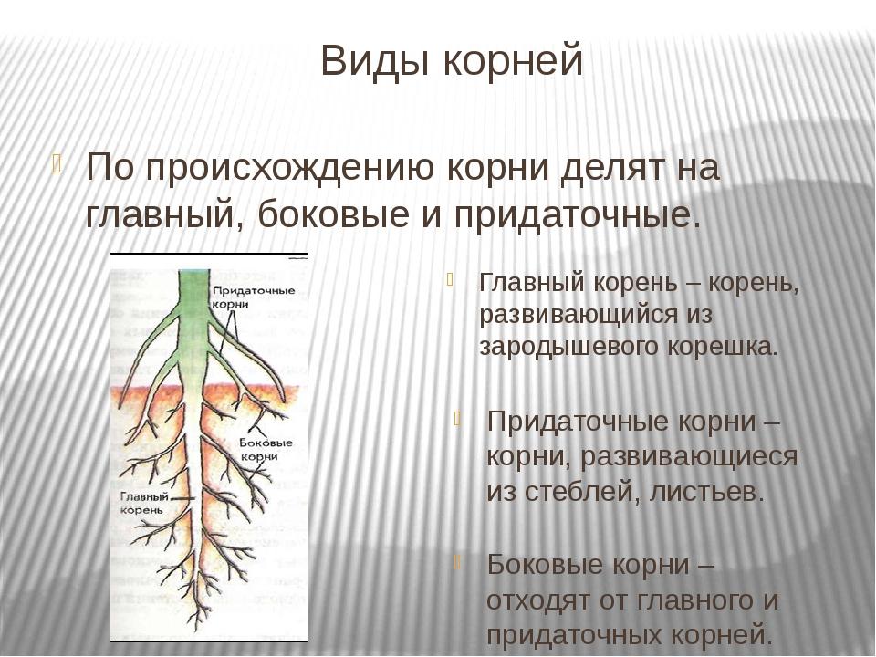 Виды корней По происхождению корни делят на главный, боковые и придаточные....
