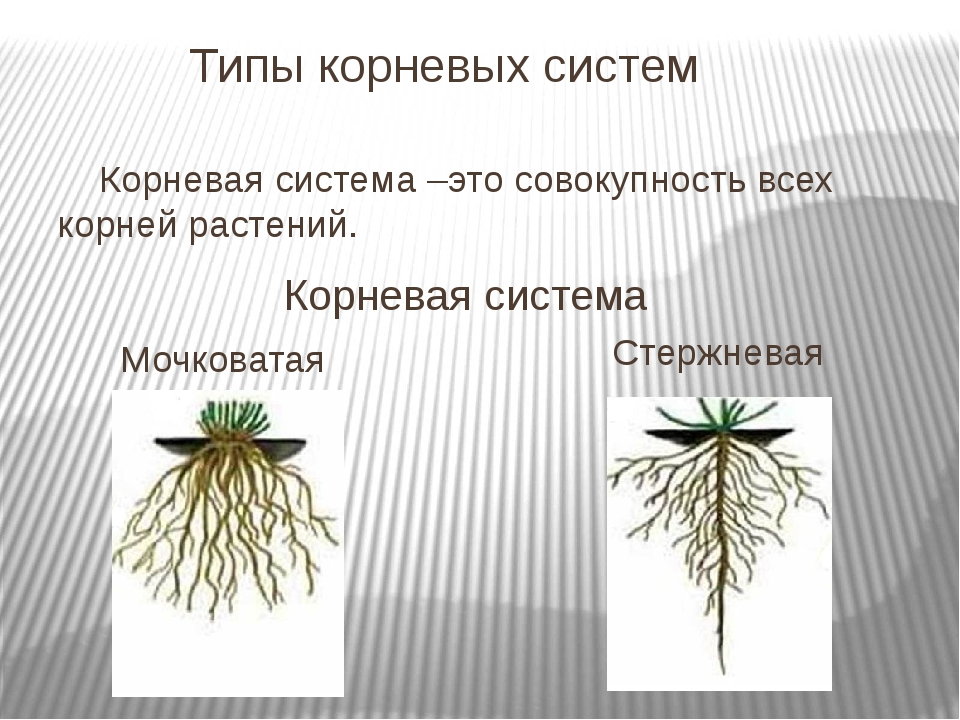 Типы корневых систем Корневая система –это совокупность всех корней растений...