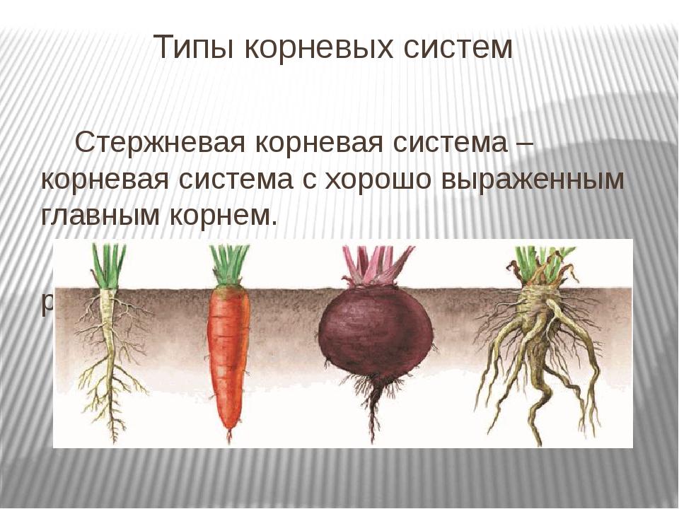 Типы корневых систем Стержневая корневая система – корневая система с хорошо...