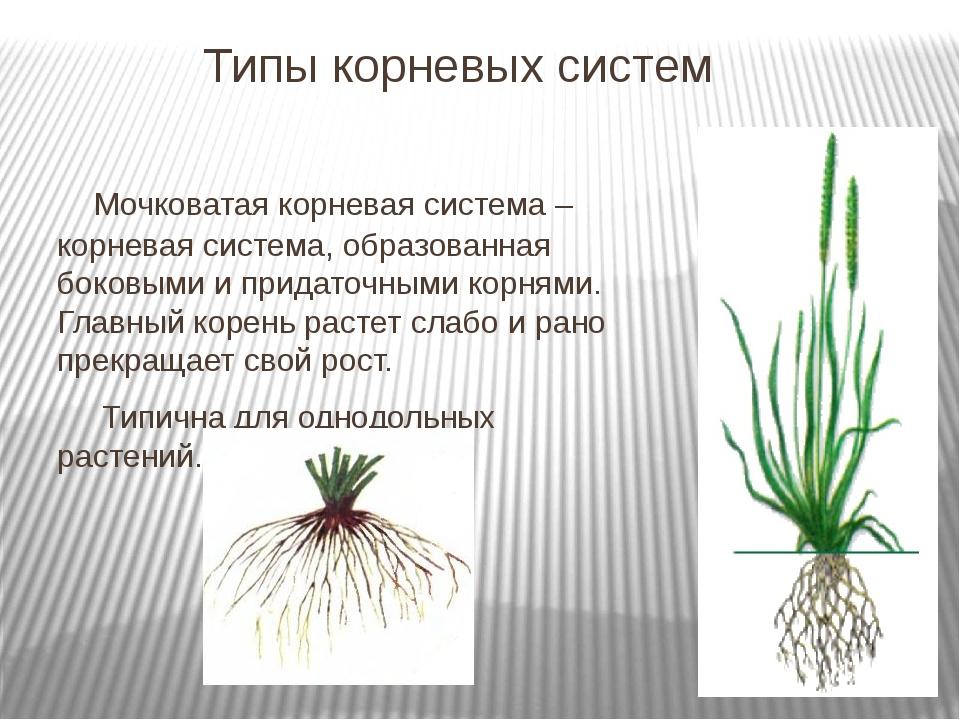 Типы корневых систем Мочковатая корневая система – корневая система, образов...